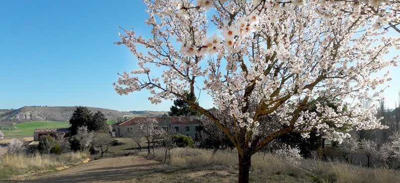 finca-el-cercado-almendros-flor (2)